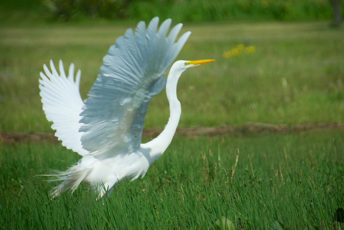 Great Egret making a getaway