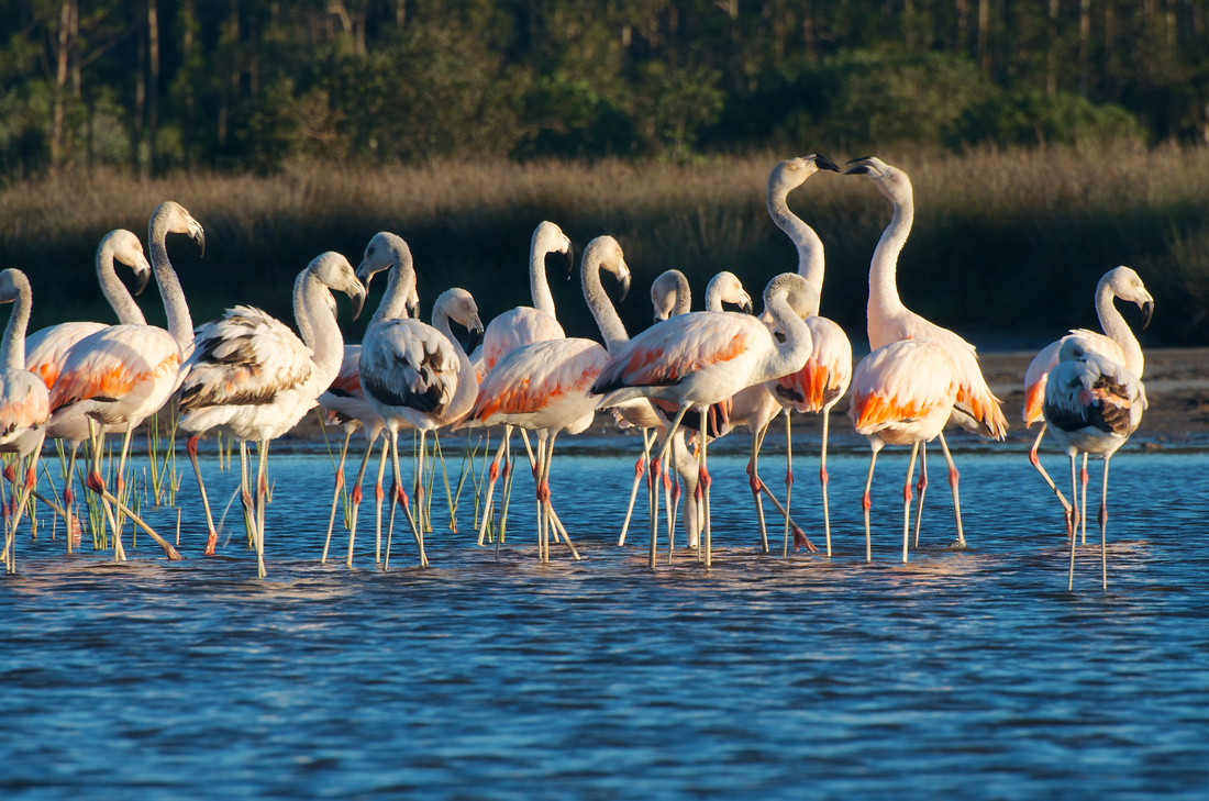 Conversing flamingo