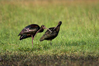 White-faced Ibis 22