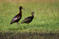 White-faced Ibis 12