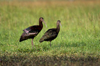 White-faced Ibis 21