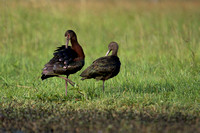 White-faced Ibis 24