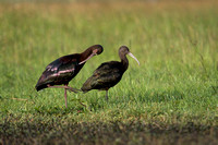 White-faced Ibis 23