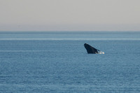 Southern Right Whale 2014