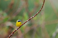 Masked yellowthroat 17 (1)