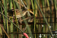 Stripe-backed Bittern (1)