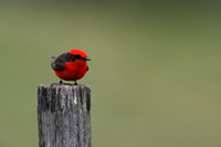 Vermillion Flycatcher (churrinche) 6