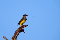 Tropical Kingbird 1