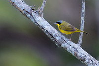 Masked yellowthroat 7