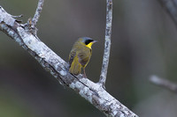 Masked yellowthroat 8