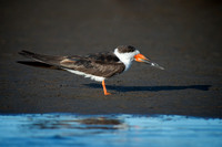 Black Skimmer in Arroyo Maldonado