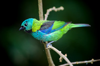 Green-headed tanager 14