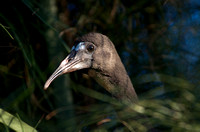 Bare-faced Ibis (chicks)