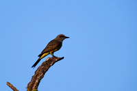Tropical Kingbird 2
