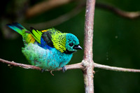 Green-headed tanager 3