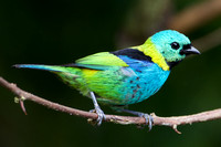 Green-headed tanager 7