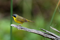 Masked yellowthroat 15