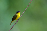 Masked yellowthroat 13