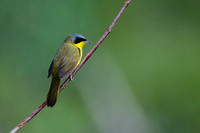 Masked yellowthroat 10