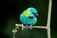 Green-headed tanager 11