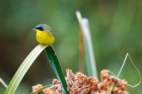 Masked yellowthroat 19