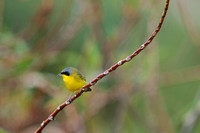 Masked yellowthroat 17