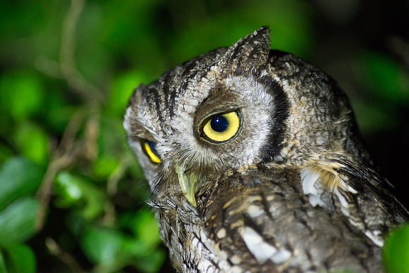 The Tropical Screech-Owl is called Tamborcito en Uruguay