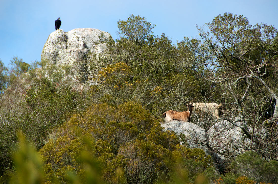 A vulture observing some wild goats