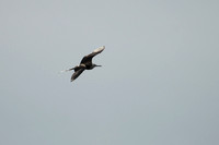 Magnificent Frigatebird 14