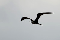 Magnificent Frigatebird 16