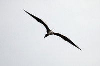 Magnificent Frigatebird 5