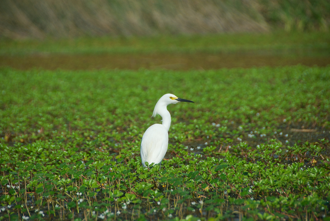 A Snowy Egret (Egretta Thula) foraging for food in Laguna del Diario.