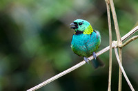 Green-headed tanager 10