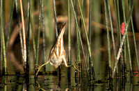 Stripe-backed Bittern 1