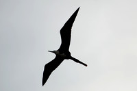 Magnificent Frigatebird 23