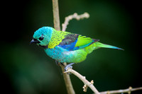 Green-headed tanager 15