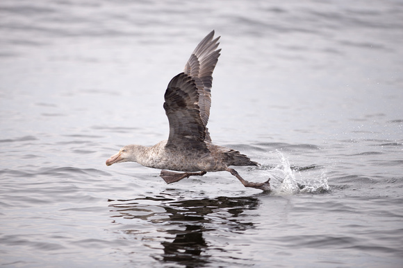 Northern giant petrel taking off 2