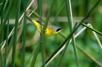 Masked yellowthroat 3