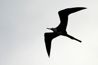 Magnificent Frigatebird 22