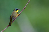 Masked yellowthroat 9