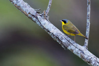 Masked yellowthroat 5
