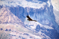 Condor in front of mountains