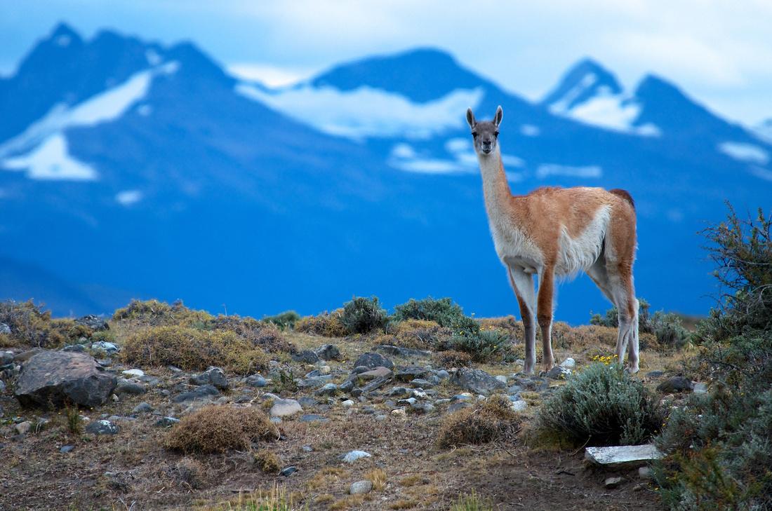 Guanaco in Parque Nacional Torres del Paine