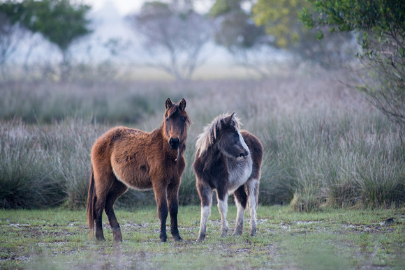 Wire-haired horses 1